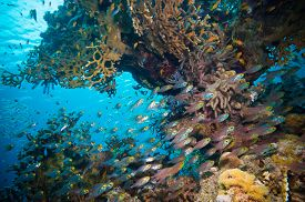 picture of sweeper  - Shoal of Glassfish  - JPG