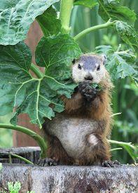stock photo of groundhog  - Groundhog eating my sunflower in back yard - JPG