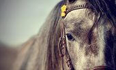 picture of stallion  - Portrait of a sports stallion in a bridle - JPG