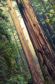 image of redwood forest  - Grand Redwood Trees in Redwood National Park California United States - JPG