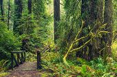 stock photo of redwood forest  - Redwood Forest Trail and Old Wooden Trail Bridge in Northern California Redwoods - JPG