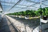 stock photo of horticulture  - Large greenhouse horticulture company specialized for hydroponic cultivation of strawberries - JPG