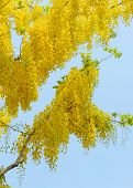 pic of cassia  - Yellow flower of Cassia fistula or golden shower tree in blue sky national tree of Thailand - JPG