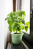 image of tomato plant  - Young tomato plants in containers on a windowsill - JPG