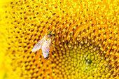 picture of pollen  - Extreme close up sunflower flower pollen detail - JPG