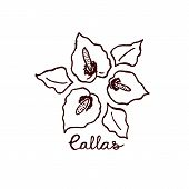 foto of calla  - Handsketched bouquet of callas - JPG