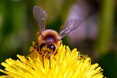 pic of pollen  - Close up of a bee collecting pollen  - JPG