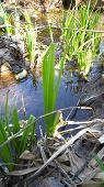 stock photo of marsh grass  - Green marsh grass and colored puddles of water - JPG