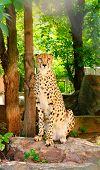 stock photo of cheetah  - Wild cat sitting on a stone  - JPG