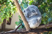 pic of wombat  - Gray koala sits on tree branch with background of green leaves - JPG