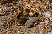 pic of baobab  - Baobab tree fruit and seeds have fallen on the ground and are dry - JPG