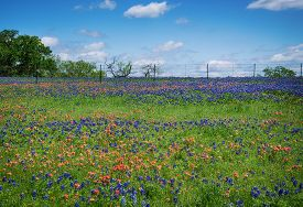 stock photo of bluebonnets  - Field of Bluebonnet and Indian Paintbrush flowers blooming in Texas spring - JPG
