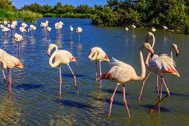 pic of pink flamingos  -  Sunset in the Camargue national park - JPG