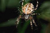 A Garden Spider hunting