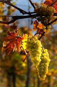 foto of rebs  - Grapes in autumn on a vine in the vineyard - JPG