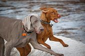 Two Dogs Running In Winter