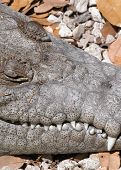 Croc Teeth  poster