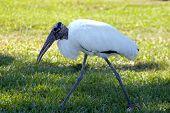 Large Bird Walking