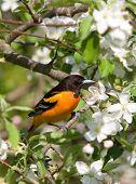 Baltimore Oriole em Primavera flores de maçã