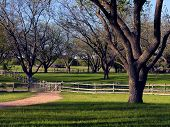 picture of pecan tree  - Path and fence run through Texas pecan grove on ranch - JPG