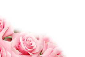 picture of pink rose  - roses with water drops  - JPG