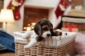 Puppies in the basket during Christmas Eve poster