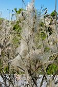 pic of cocoon tree  - tree coated with webs with cocoons of caterpillars - JPG