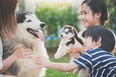 Asian Family Playing With Siberian Husky Dog Together poster