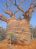 Big Old Baobab, Tsimanampetsotsa Park, Madagascar