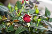 flowering rosebush.