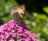 Small Tortoiseshell butterfly underwing