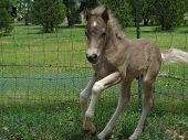 Pony colt jumping and running