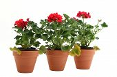 pic of potted plants  - three plants on a white background in a terracotta clay pot - JPG