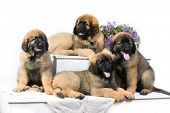 Leonberger puppy lying on the white background poster