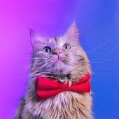 Red Cat With Pink Bowtie Front View. Gentleman-like Fluffy Domestic Animal On Neon Background. Adora poster