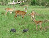 picture of guinea fowl  - some Uganda Kobs and guinea fowls in Uganda  - JPG