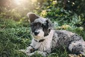 Curly Grey Charming Yard Mongrel Dog Lies In The Summer Green Grass And Looks Into The Camera poster