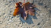 Beautiful Maple Leaf Atop Rough Textured Cement Surface. Single Fall Leaf Closeup. Natural Fall Brow poster