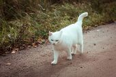 White Homeless Beautiful Cat Walking Down The Road, Staring And Squinting, Close-up. A Lonely Stray  poster