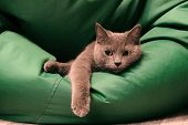 Young British Blue Shorthair Cat Lying On A Green Chair Bag. Pensive Gray Cat. poster