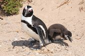 Cape Penguin with chick