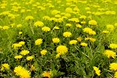 Yellow Flowers In Nature Summer Background. Spring Background With Fairytale Dandelion Flowers.selec poster