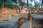 Monkeys Near The Temple In Kathmandu, Nepal. Monkeys In Kathmandu. Nepal. A Small Group Of Monkeys E poster