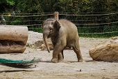 The Asian Elephant, Elephas Maximus Also Called Asiatic Elephant, Is The Only Living Species Of The  poster