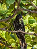Portrait Format Of Red-tailed Black Cockatoo Also Known As Banksian- Or Banks Black Cockatoo, Or Cal poster