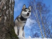 stock photo of siberian husky  - Siberian Husky Puppy 3 months old in trees - JPG