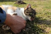 Fighting With Furious Domestic Cat In The Garden. Hand And Felis Catus. Casual Playing With Frisky M poster