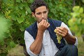 Man eating grapes in a vineyard