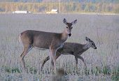 Doe Tenderly Cares For Fawn