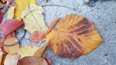 Picturesque Yellow Fall Leaf With Brown Stripes Fallen To Grey Concrete Flooring. Variegeted Foliage poster